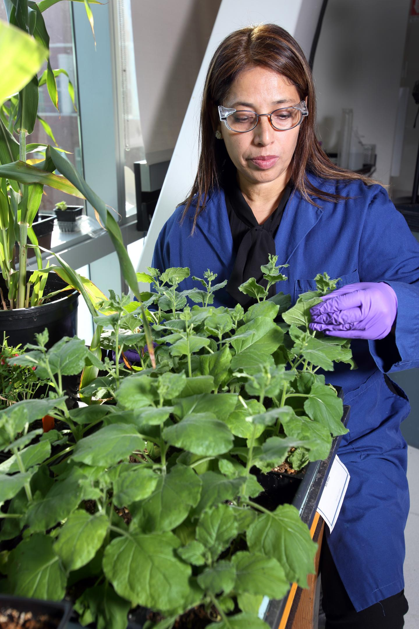 Sandia National Laboratories bioengineer Seema Singh examines a tobacco plant that has been genetically engineered for the easy extraction of important chemicals. (Dino Vousous)