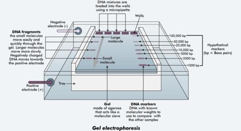 gel electrophoresis equipment process and function