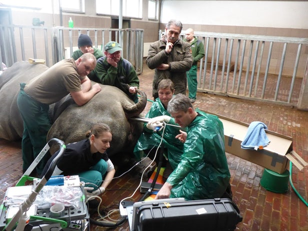 An anaesthetized white rhinoceros positioned in sternal recumbency during oocyte collection. Source: Leibniz-IZW