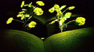 "Illumination of a book (""Paradise Lost,"" by John Milton) with the nanobionic light-emitting plants (two 3.5-week-old watercress plants). The book and plants were placed in front of a reflective paper to increase the influence from the light-emitting plants to the book pages. Source: Kwak Seonyeong/MIT"