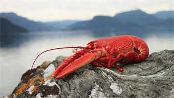 UK researchers develop method for aging lobsters