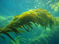 PNNL researchers are developing two different technologies that could one day enable cars and trucks to run on biofuel made from seaweed grown in the open ocean, including the kelp shown here. Source: NOAA